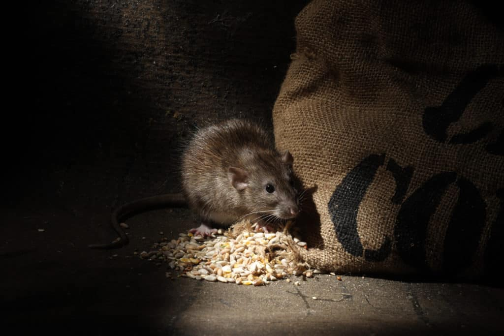 brown rat house infestation nevada