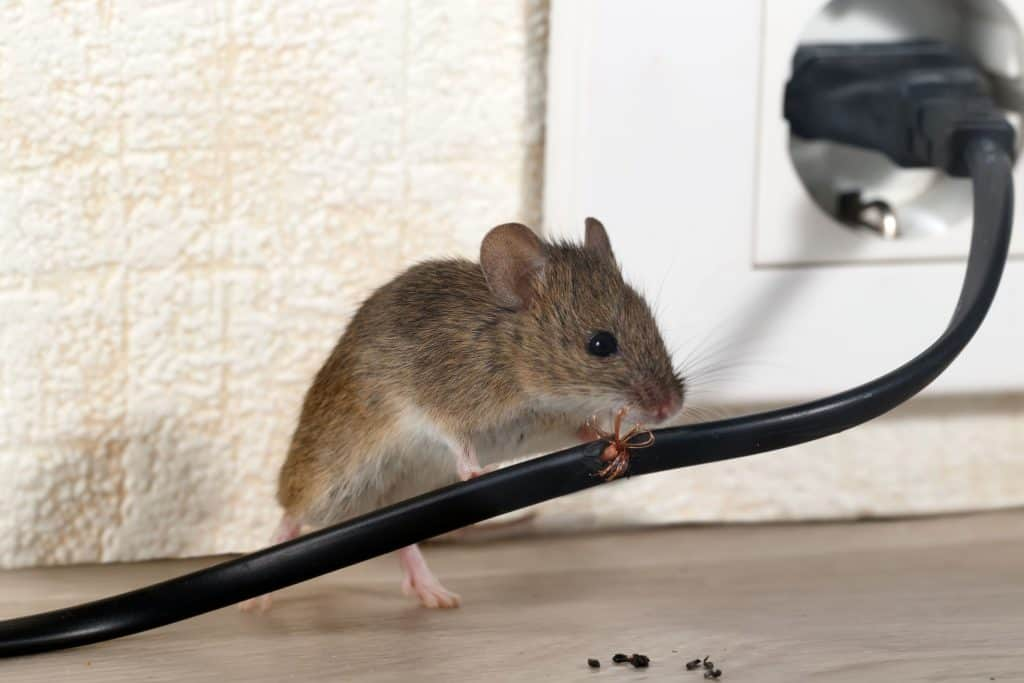 How mice can damage your home