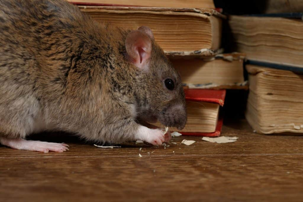 rodent damage in your home